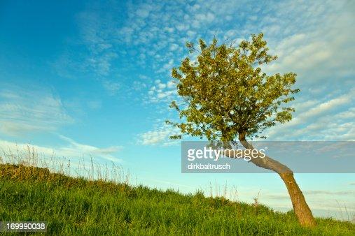 old venerable cherry tree