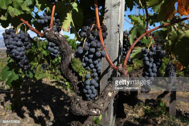 Old vine Nerello Mascalese vines planted in the goblet method between 5070 years ago on narrow and winding terraces in Tenuta delle Terre Nere...