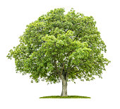 Old walnut tree on a white background