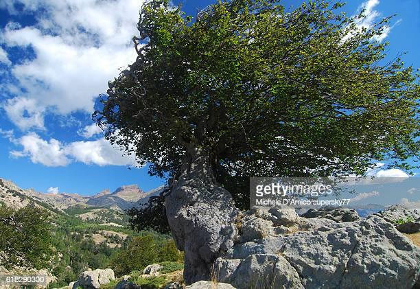 Old weather-beaten beech tree in Corsica