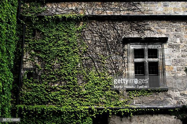 Old Window With Ivy Creepers