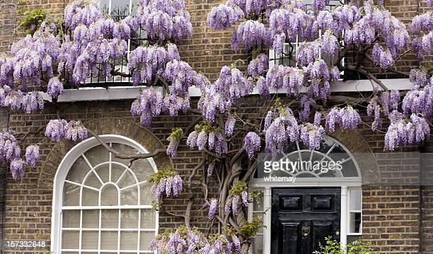 Old wisteria