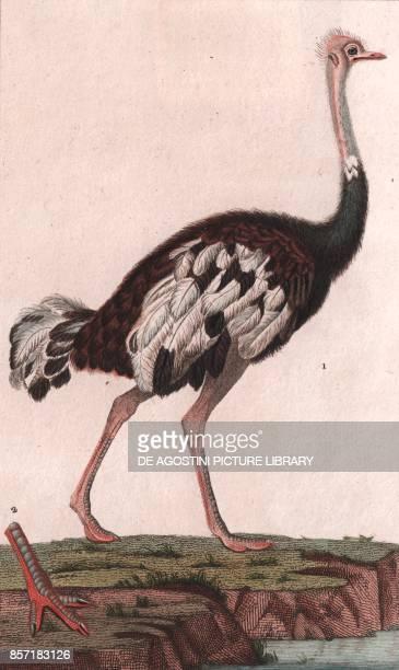 Old World Ostrich colour copper engraving retouched in watercolour 9x15 cm from Dizionario delle scienze naturali compilato da vari professori del...