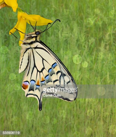 Old world swallowtail butterfly : Stock Photo