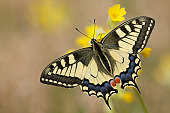 Old World Swallowtail Butterfly (Papilio machaon) resting on Cowslip (Primula veris), wings spread, Eichkogel near Moedling, Lower Austria, Austria, Europe