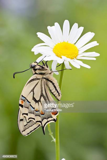 Old World Swallowtail -Papilio machaon- butterfly on a Marguerite, North Hesse, Hesse, Germany