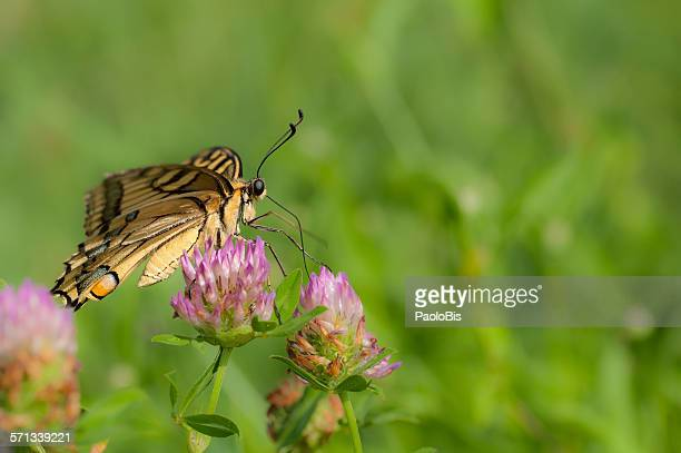 Old world swallowtail, papilio machaon butterfly