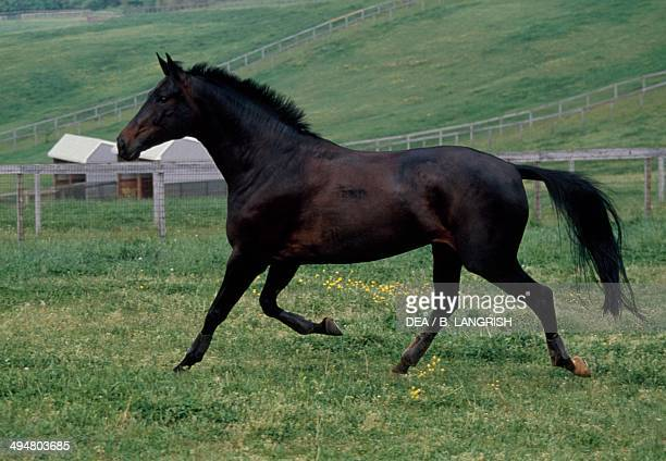 Oldenburg horse Equidae