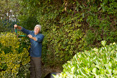 Older man trimming hedges in garden