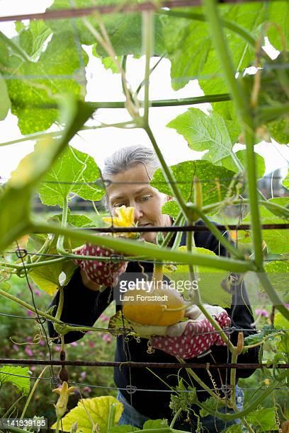 Older woman examining pumpkin on vine