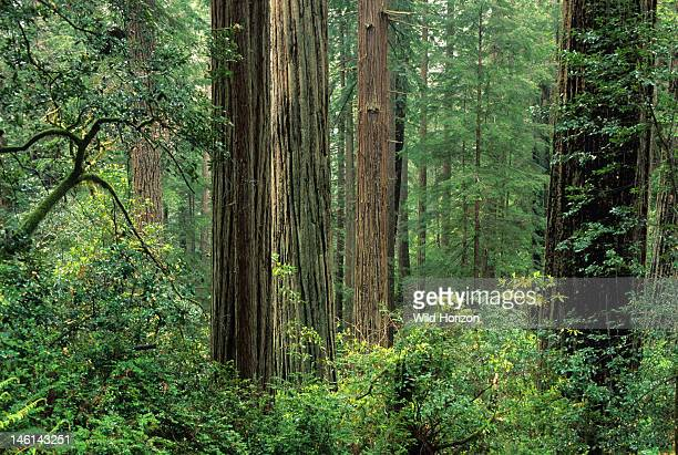 Oldgrowth coast redwood forest Sequoia sempervirens Prairie Creek Redwoods State Park California USA