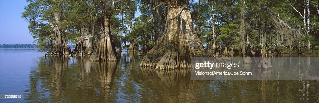 'Old-growth cypresses at Lake Fausse Pointe State Park, Louisiana'