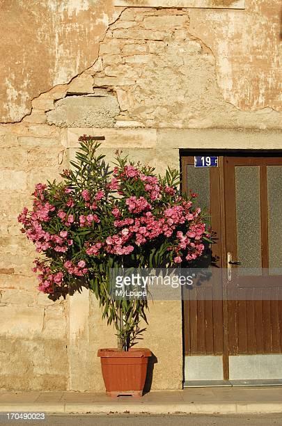 Oleander Shrub in Bloom in Flowerpot Istria Croatia