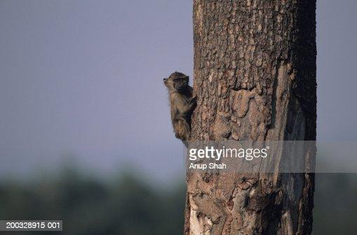 Olive baboon (Papio anubis), climbing tree, Kenya : Stock Photo