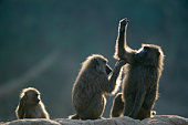 Olive Baboon ( Papio Anubis)  grooming another