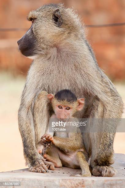 Olive Baboon mother and baby