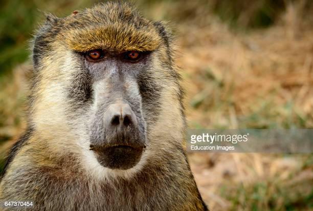Olive baboon or Anubis baboon Papio anubis Amboseli National Park Kenya