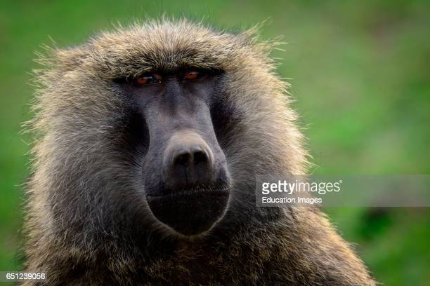 Olive baboon or Anubis baboon Papio anubis Hells Gate National Park Naivasha Great Rift Valley Kenya