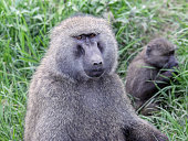 An Olive Baboon staring directly into the camera with a younger baboon in the background.