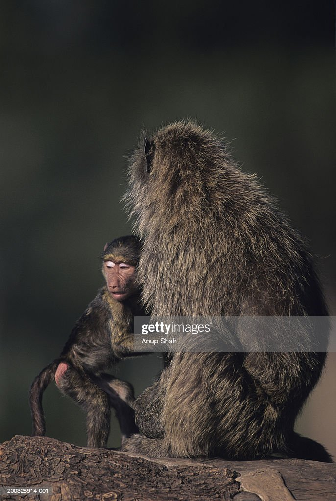 Olive baboon (Papio anubis), protecting young, Kenya : Stock Photo