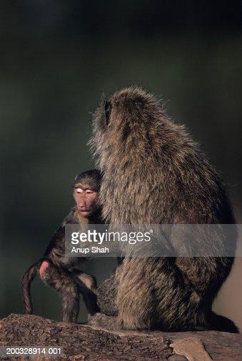 Olive baboon (Papio anubis), protecting young, Kenya : Stock Photo