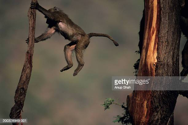 Olive baboon (Papio anubis) swinging on branch, Kenya
