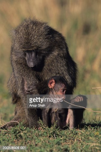 Olive baboon (Papio anubis), with young, grooming, Kenya : Stock Photo