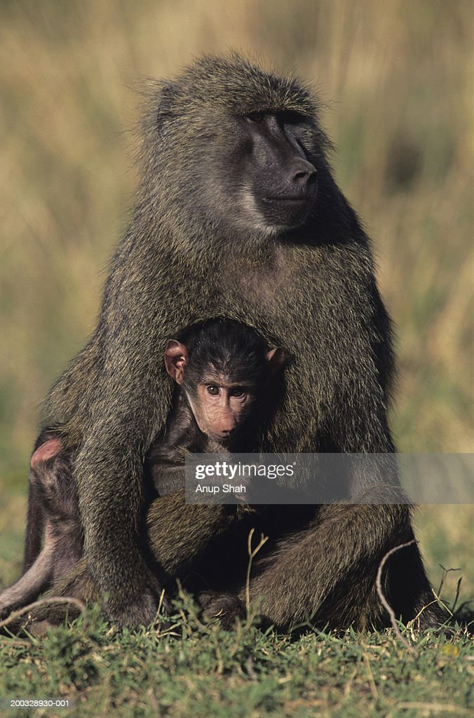 Olive baboon (Papio anubis), with young on savannah, Kenya : Stock Photo