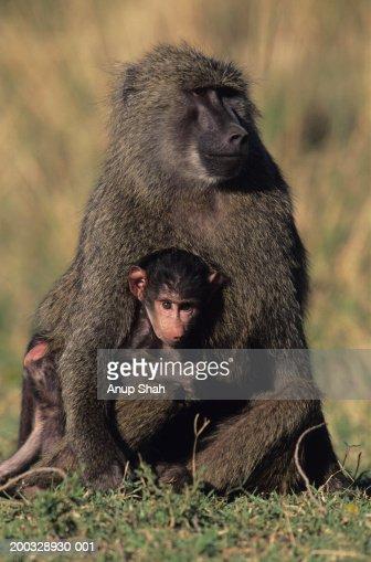 Olive baboon (Papio anubis), with young on savannah, Kenya : Stock Photo