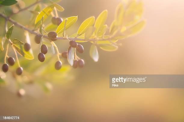 Olive branch pendant le coucher du soleil