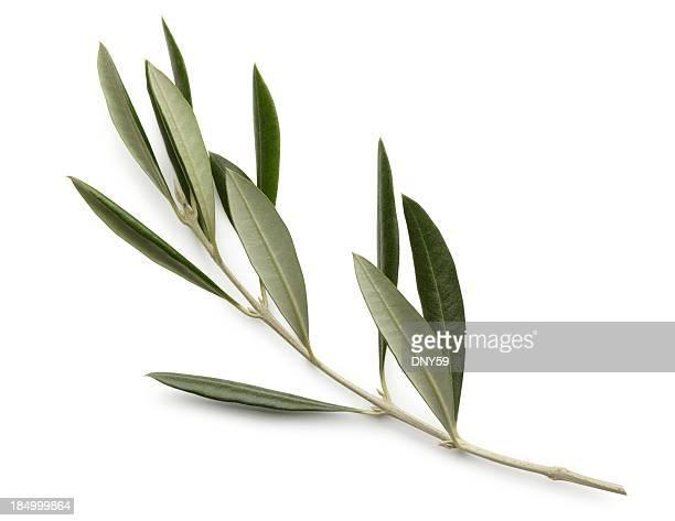 Olive Branch isolé sur fond blanc