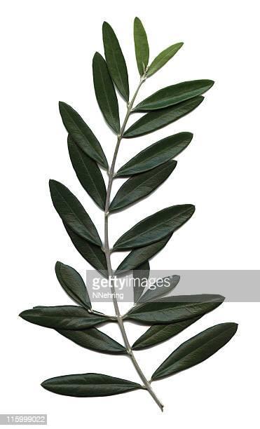 olive branch, das Olea europaea