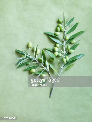 Olive Branch on green background : Stock Photo