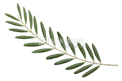 Olive Branch Peace Symbol Stock Photo Thinkstock