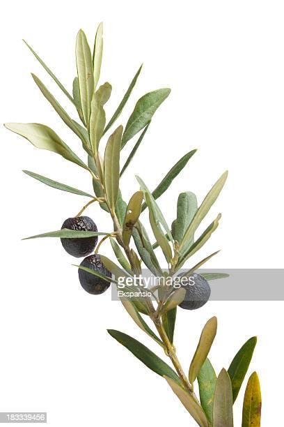 Olive Branch Symbole de la paix avec feuilles et fruits sur blanc