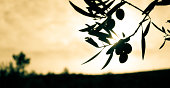 Olive branch silhouette against sunset