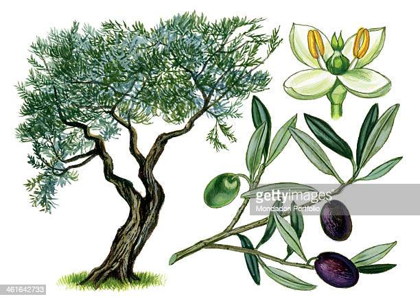 Olive by Giglioli E 20th Century ink and watercolour on paper Whole artwork view Drawing of the plant with fruits leafs and flowers