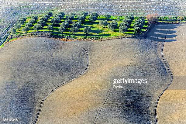 Olive grove between cereals and grasses,Asciano,Tuscany,Italy