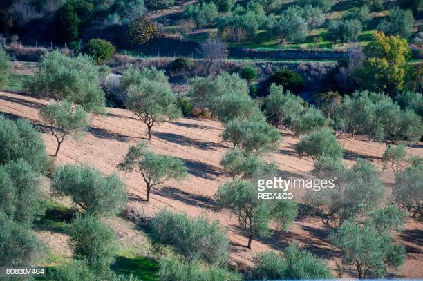 Olive Grove Gesturi Medio Campidano Sardinia Italy