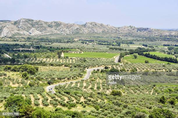 Olive grove in the Baux de Provence valley