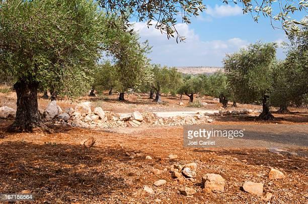 オリーブグローブ外のパレスチナヴィラージュ Zababdeh