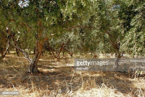 olive grove : Stock Photo