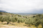 Olive grove with Sierra Nevada mountains, Granada, Spain