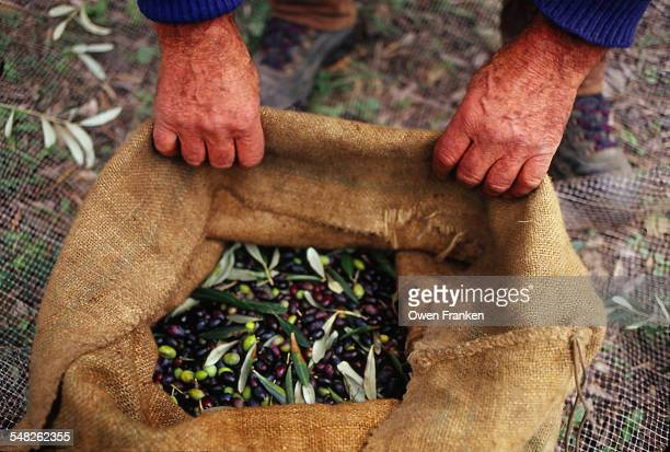 Olive harvest in Liguria, Itlay