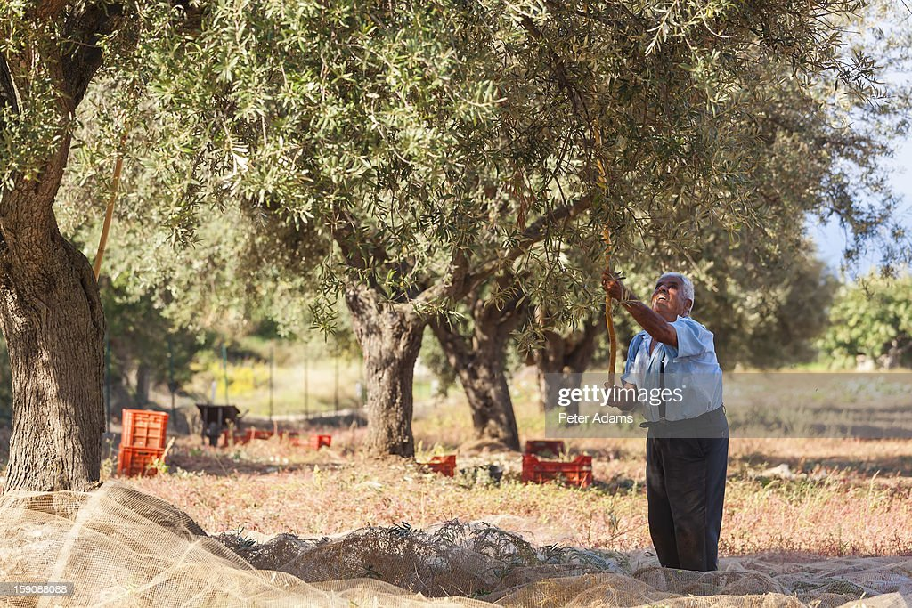 Olive harvest, near Tropea, Calabria, Italy : Stock Photo