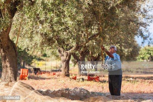 Olive harvest, near Tropea, Calabria, Italy : Stock Photo