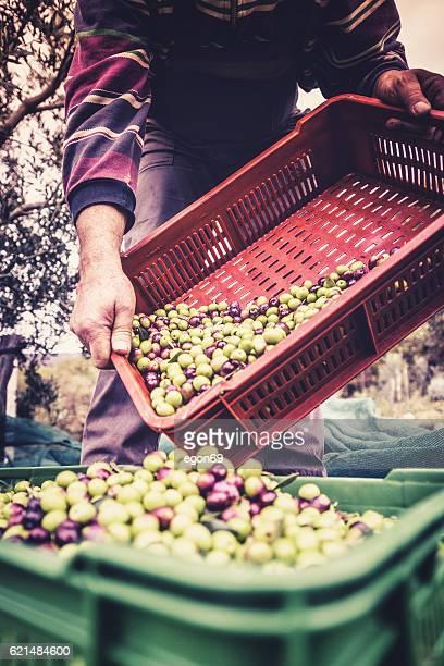 Verde oliva Harvest