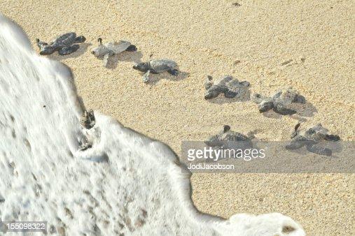 Olive Ridley Sea Turtles racing to the ocean (Lepidochelys olivacea)