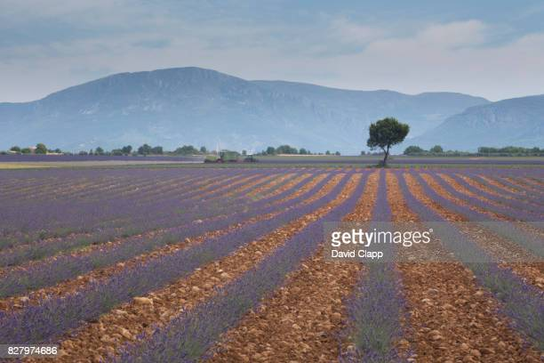 Olive tree and lavender field in Valensole, Provence, France