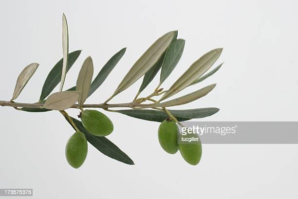 Branche Olive Tree